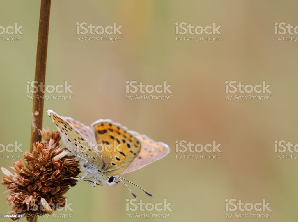 Sooty Copper Butterfly (Lycaena tityrus) Female stock photo