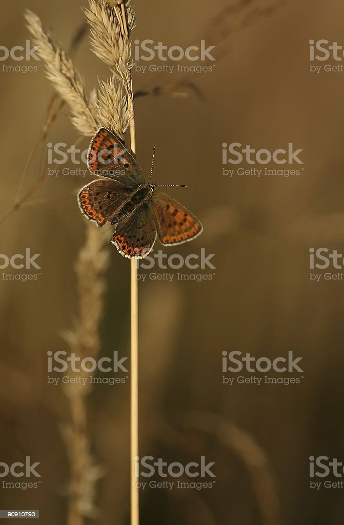 Sooty Copper royalty-free stock photo
