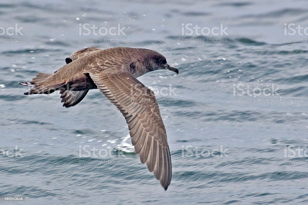 Sooty Shearwater, Puffinus griseus gliding stock photo