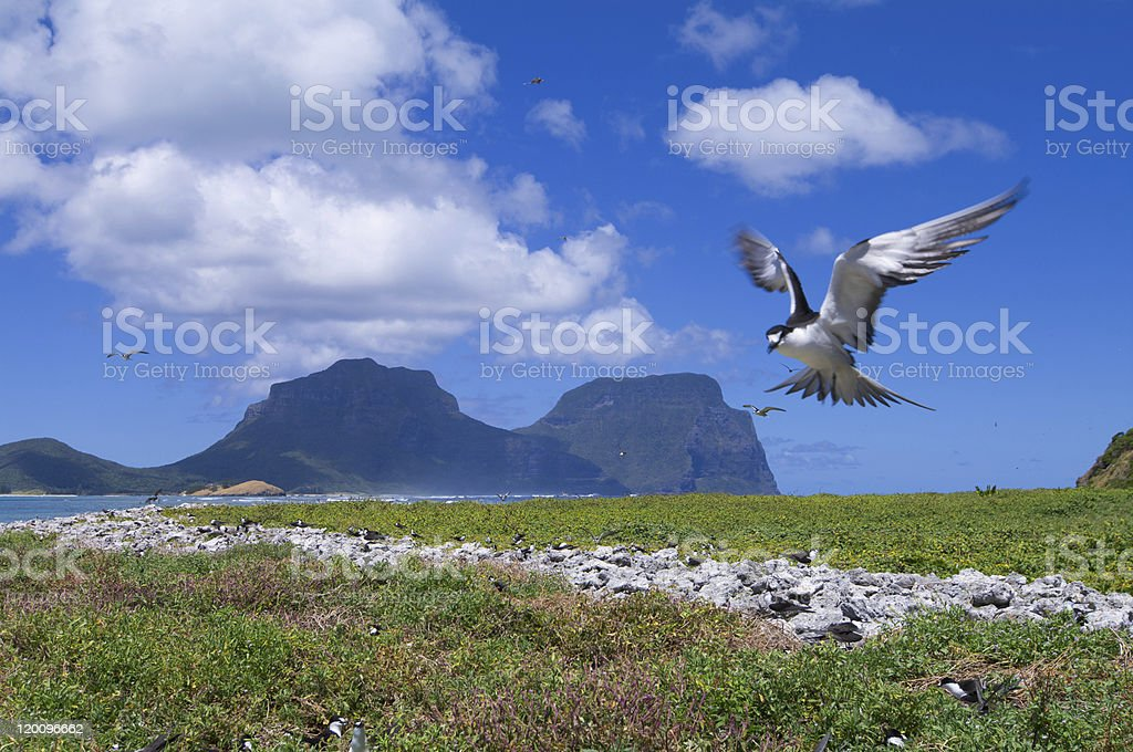 Sooty Tern royalty-free stock photo
