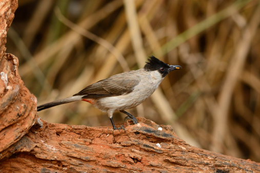 Sootyheaded Bulbul Stock Photo - Download Image Now