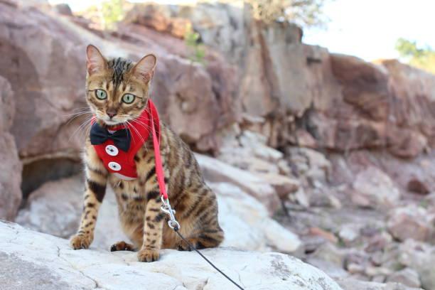 anspruchsvolle kätzchen katze im freien aus nächster nähe - katzengeschirr stock-fotos und bilder
