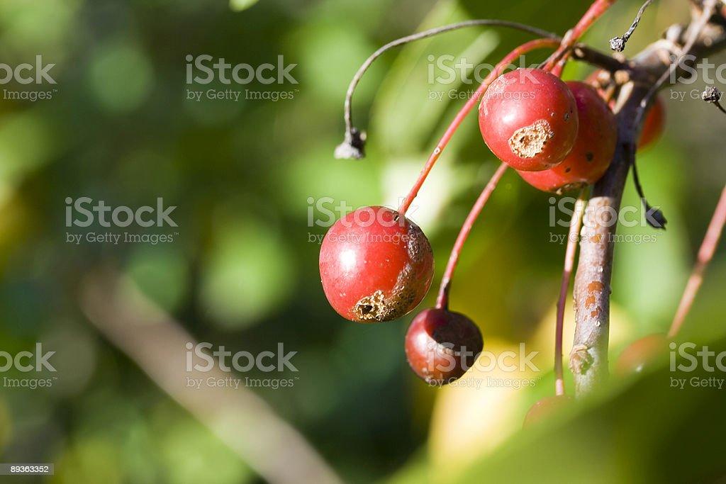 Sorbus ainifolia stock photo