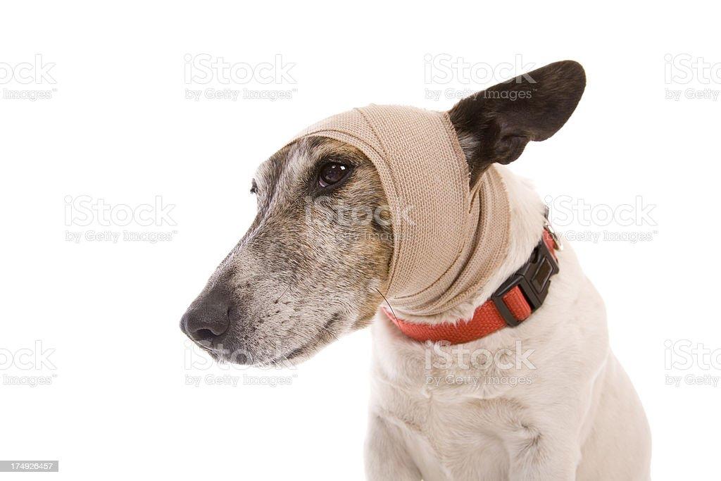 Sore Head Dog royalty-free stock photo