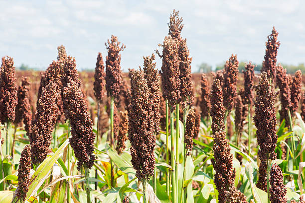 Sorghum bicolor stock photo