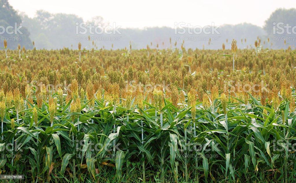 Sorghum Crop stock photo