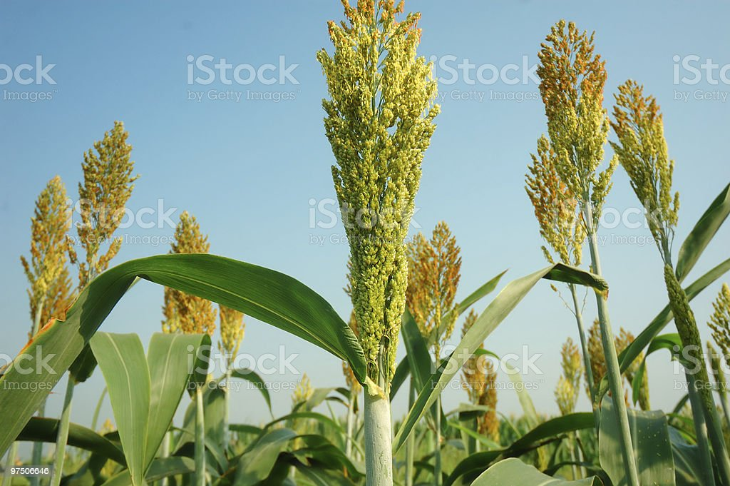 Sorghum in autumn royalty-free stock photo