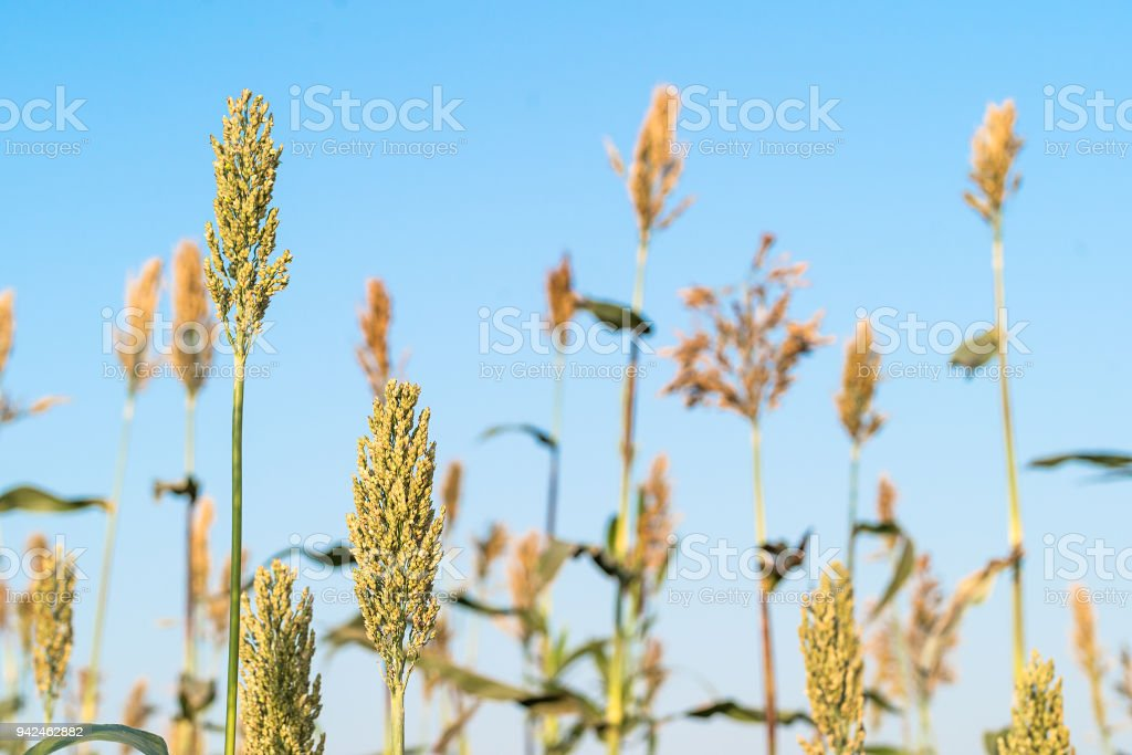 Sorghum in field agent blue sky stock photo