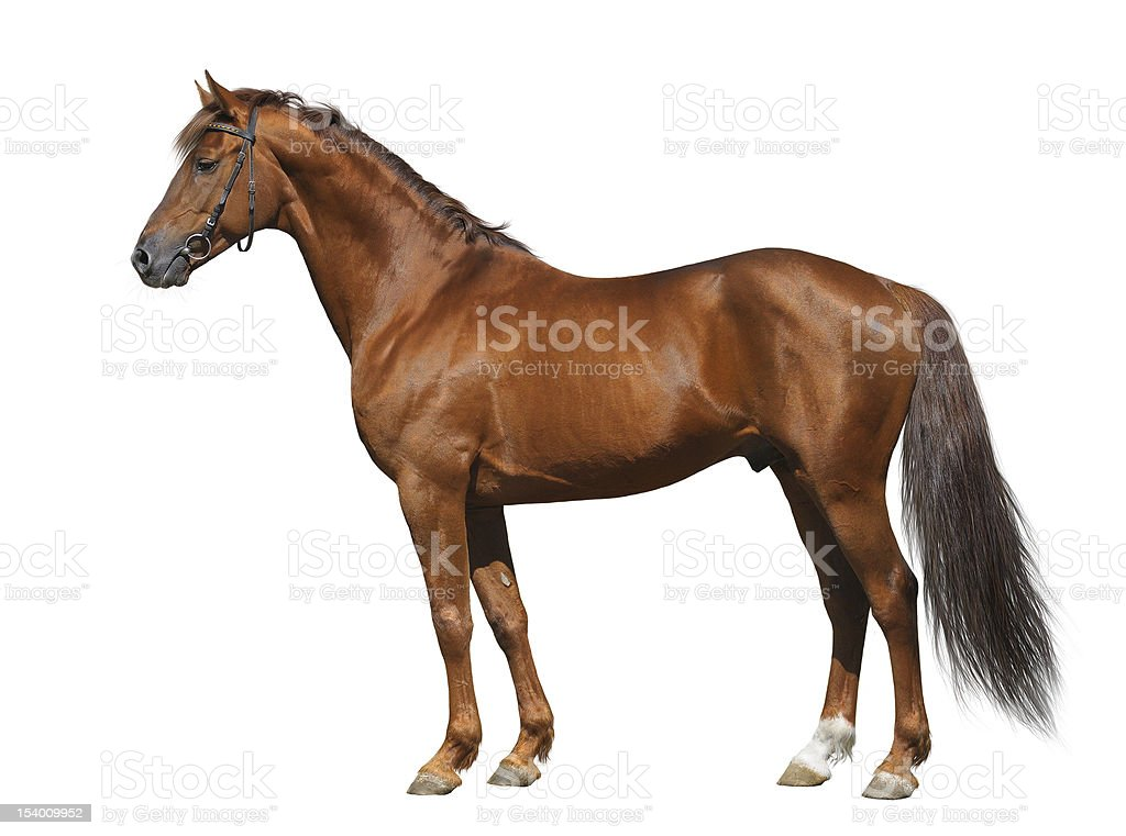 Sorrel Don stallion stock photo