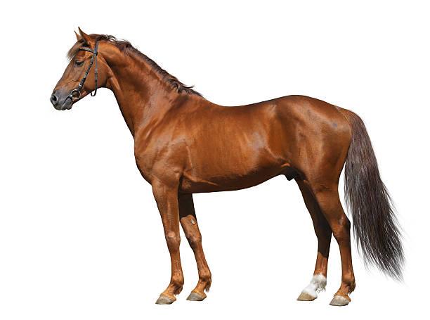 Sorrel Don stallion stock photo