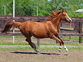 Sorrel dressage sportive horse galloping in evening meadow