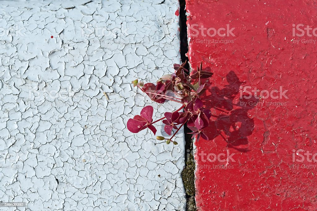 Sorrel sprouted in crack between slabs of  road. – Foto