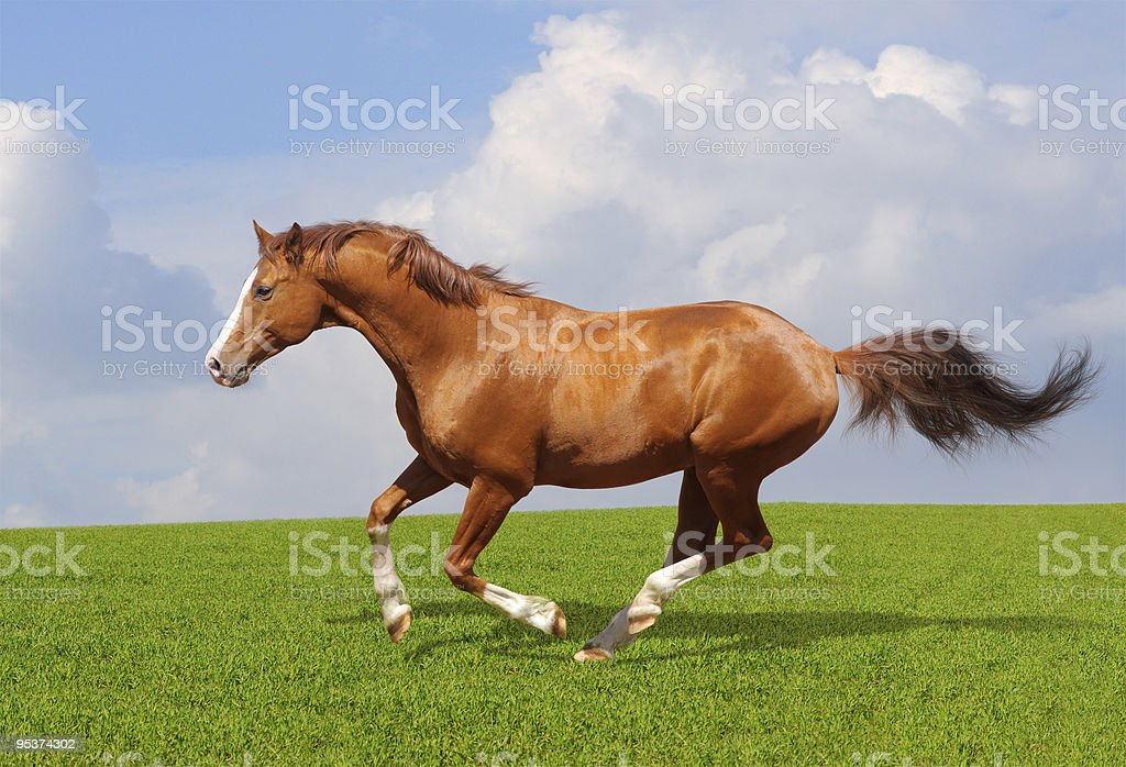 Sorrel trakehner stallion royalty-free stock photo