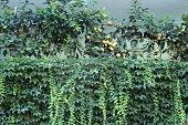 sorrento - lemon tree