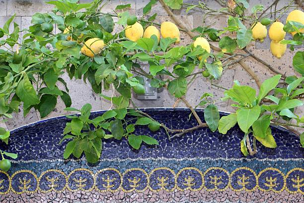 sorrento - lemon tree stock photo