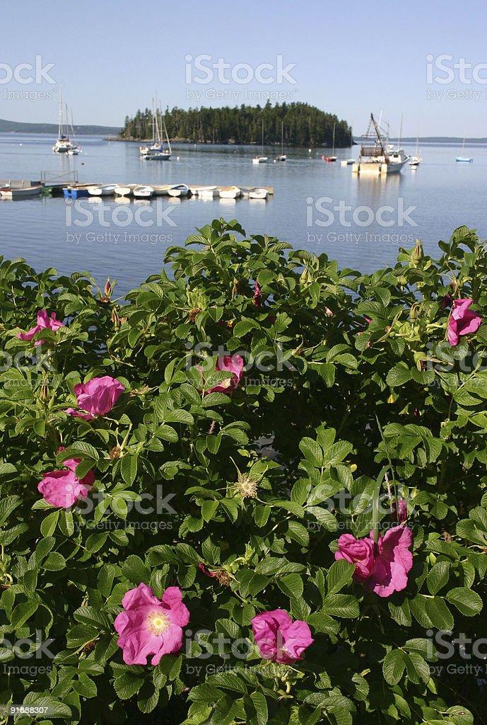 Sorrento roses stock photo