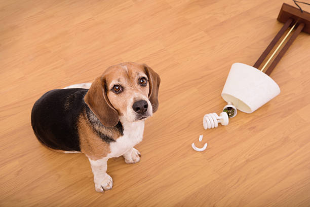 """""""Sorry"""".  Beagle dog and broken lamp Three colored beagle dog and broken lamp after zoomies"""