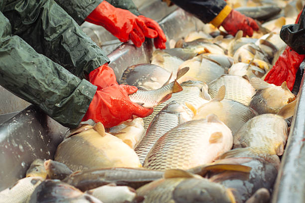 sorting a freshwater fish - aquaculture stock pictures, royalty-free photos & images