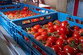 並べ替えと熟した赤いトマト オランダの温室、ヨーロッパの農業バイオでつるの包装
