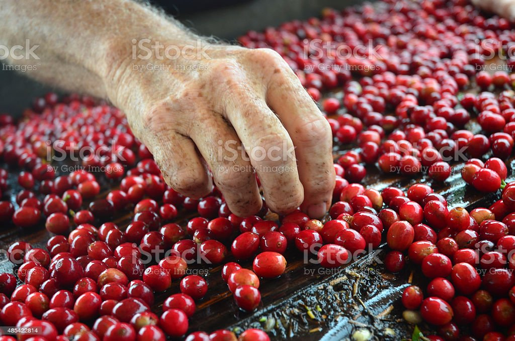sorting coffee beans stock photo