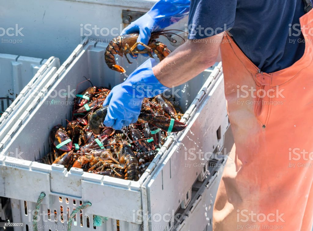 Sorting live Maine lobster for sale stock photo