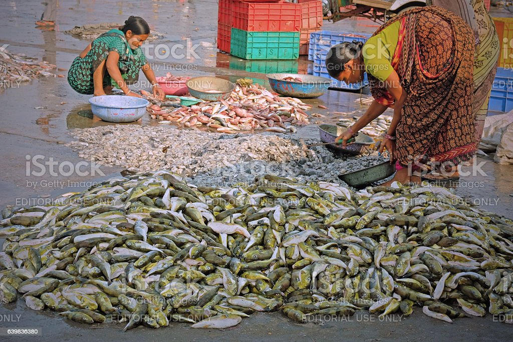Sorting the catch for market stock photo