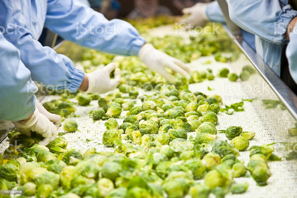 Sorting through the Brussels sprouts on the conveyor belt stock photo