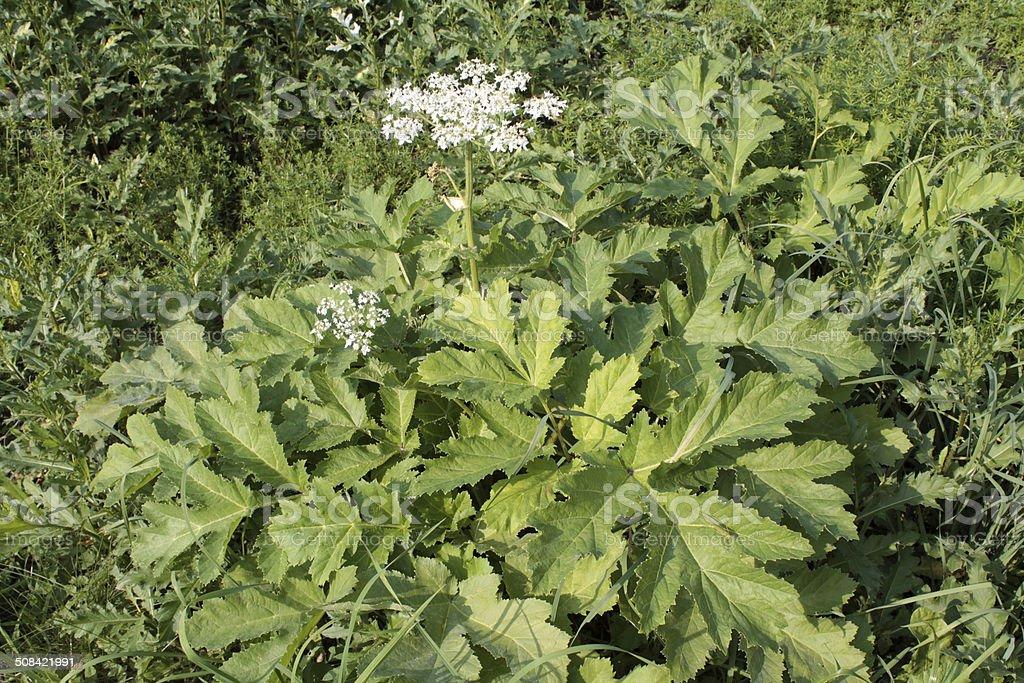 Sosnowsky's Hogweed dangerous poisonous plant stock photo