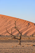This is a photograph of a tree in the vast Namib Desert landscape in the morning at Dead Vlei in Sossusvlei National Park in Namibia Africa.