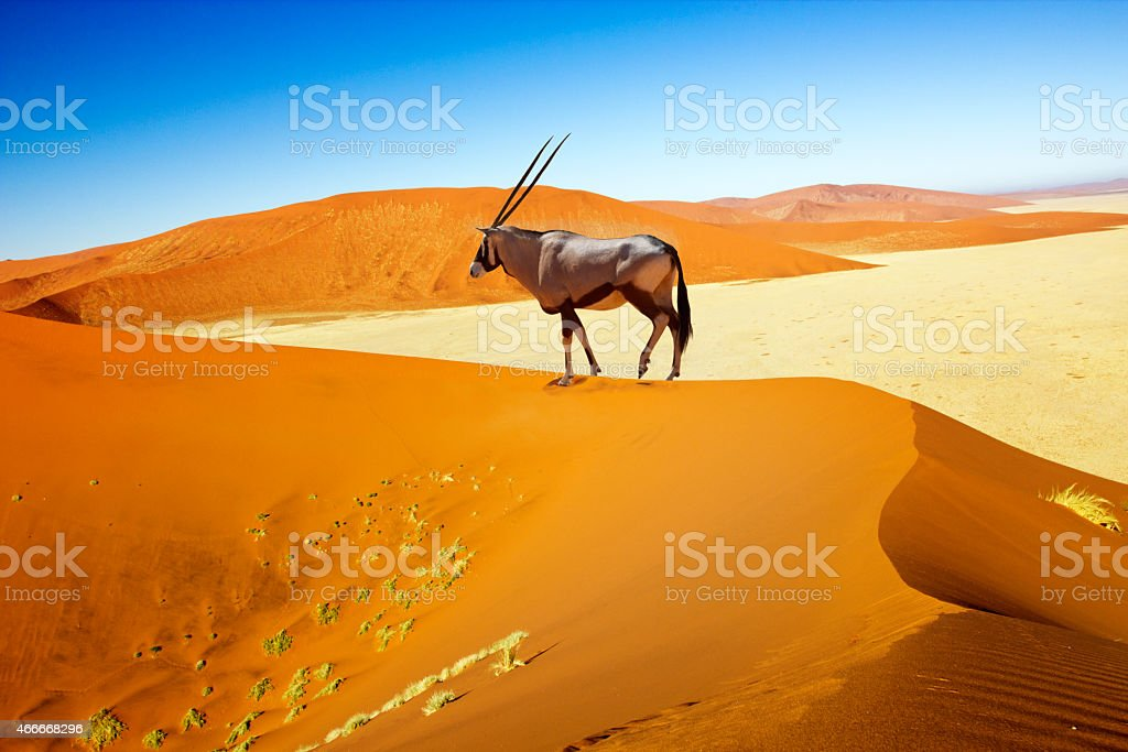 sossusvlei dunes oryx stock photo
