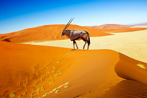 sossusvlei dunes oryx Wandering dune of Sossuvlei in Namibia with Oryx walking on it namibia stock pictures, royalty-free photos & images