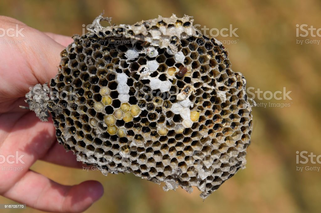 Sota from the nest of wasps. Destroyed hornet's nest. stock photo