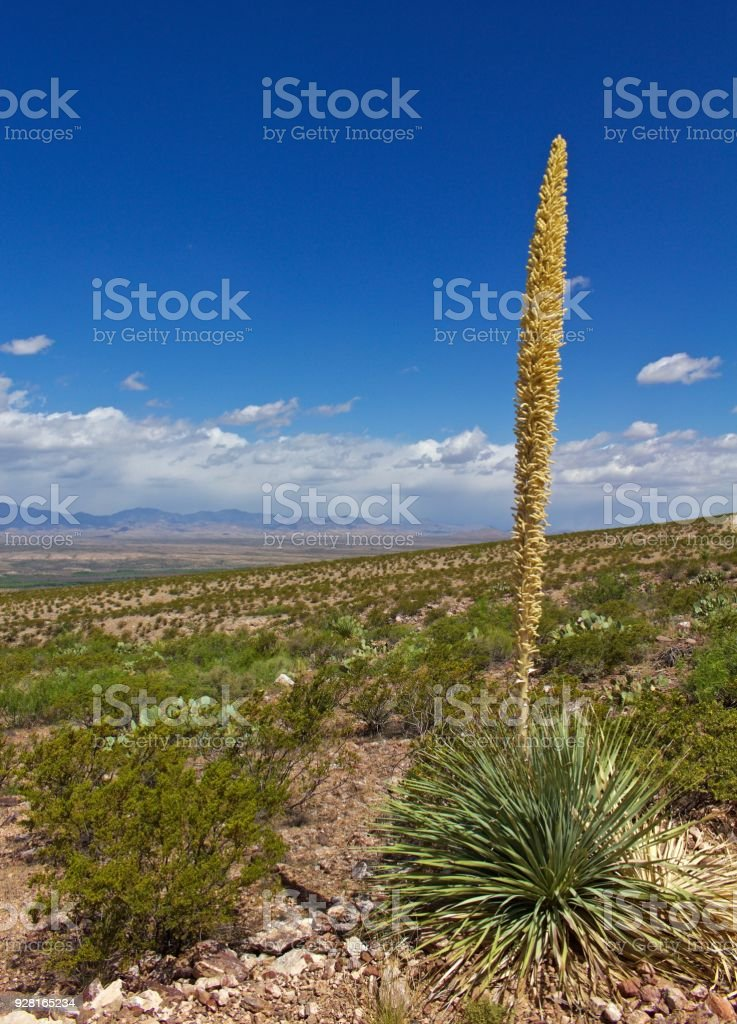 Sotol plant with creotsote bushes and desert landscape stock photo