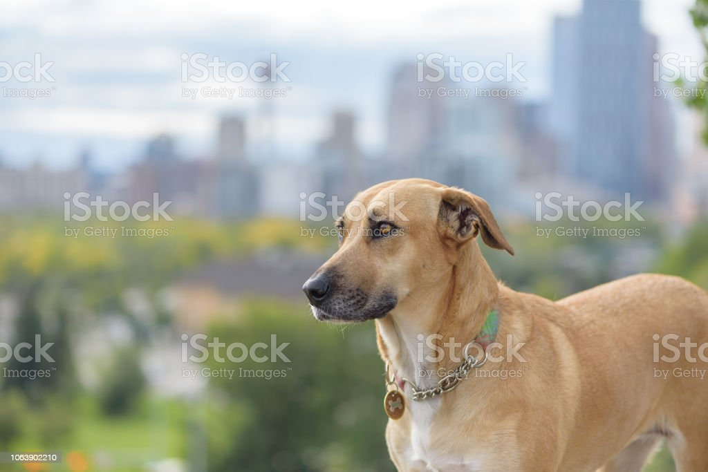 Soulful rescue dog wearing collar and tags with urban cityscape in background stock photo