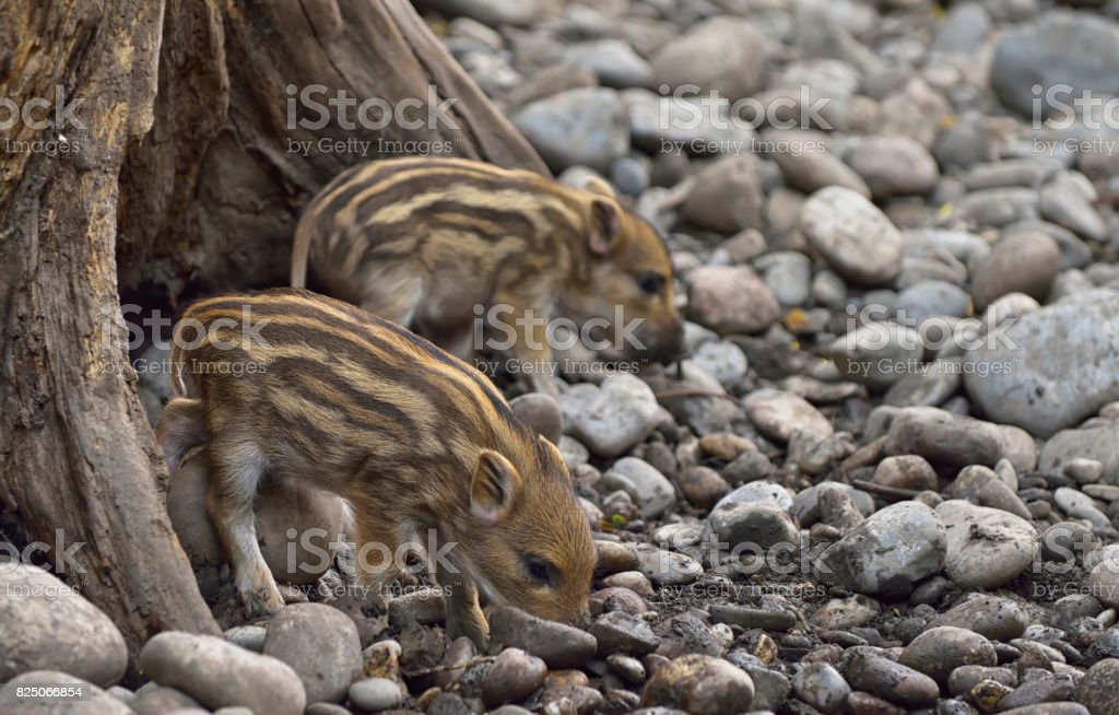 Sounder of young wild boars at zoo stock photo