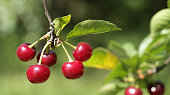 Sour cherries on the tree in orchard against green blur background.