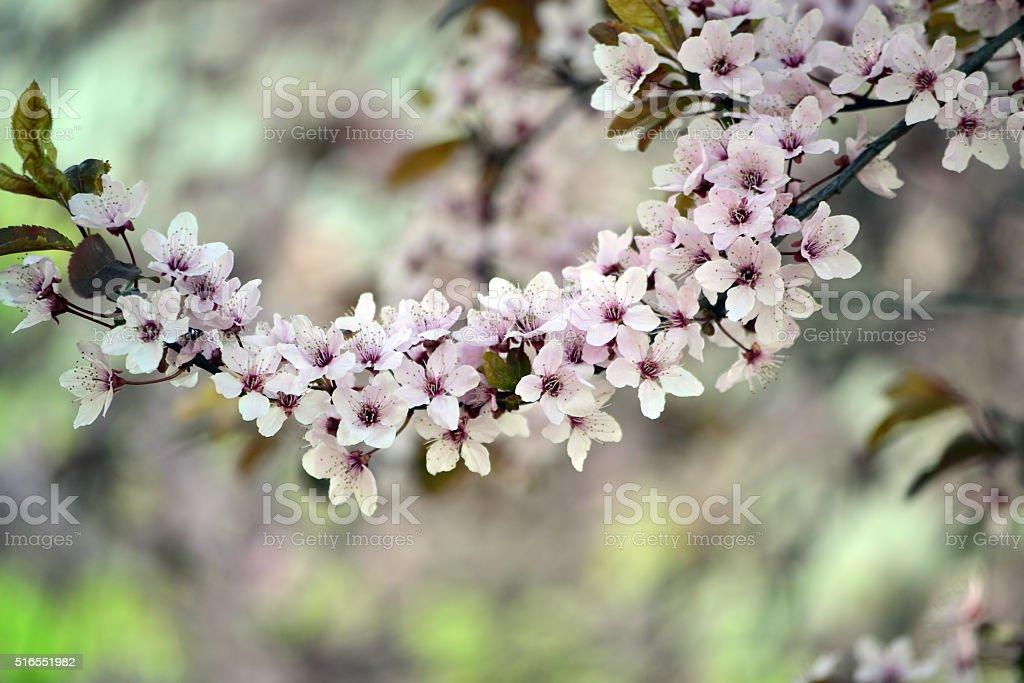 Sour cherry flowers