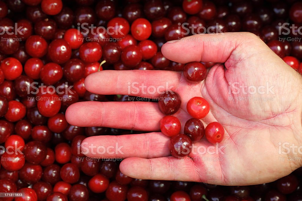 Sour Cherry Harvest (Prunus cerasus) stock photo