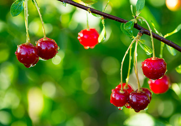 sour cherry on tree - june stock photos and pictures