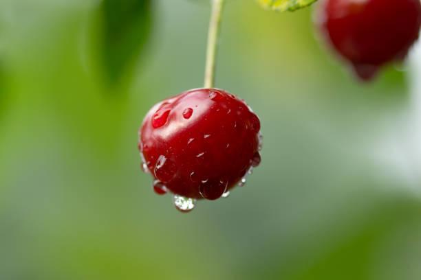 Sauerkirsche mit Regentropfen – Foto