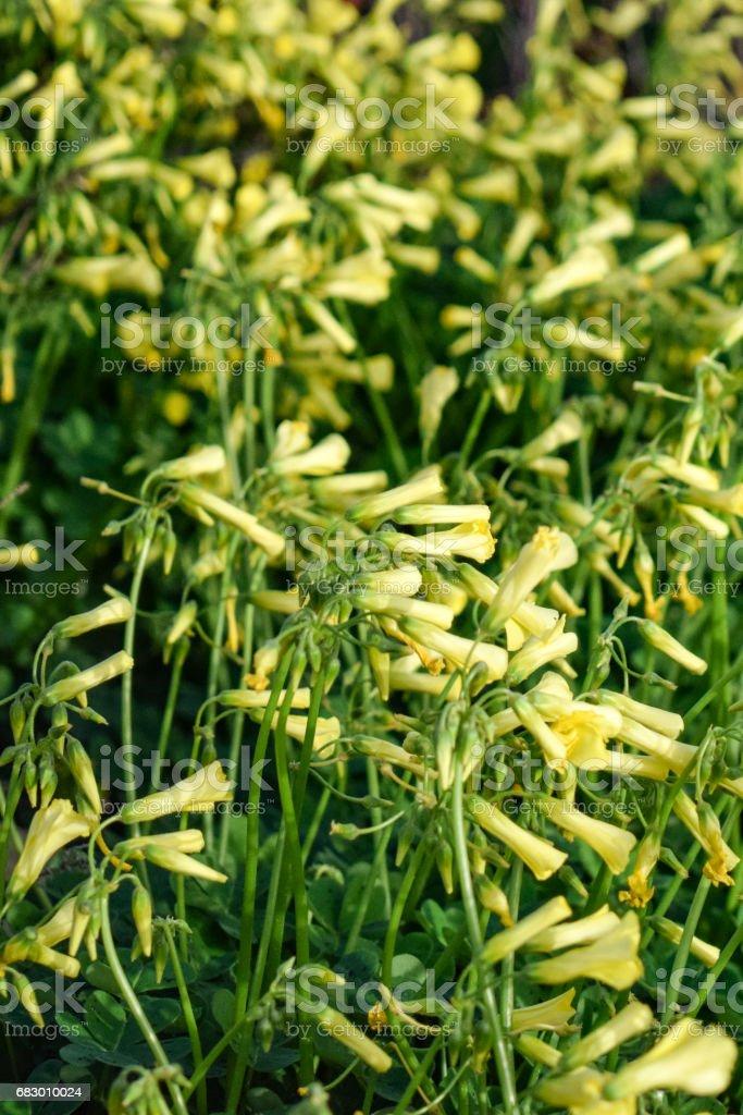 Sour grass field - Oxalis pes-caprae foto de stock royalty-free