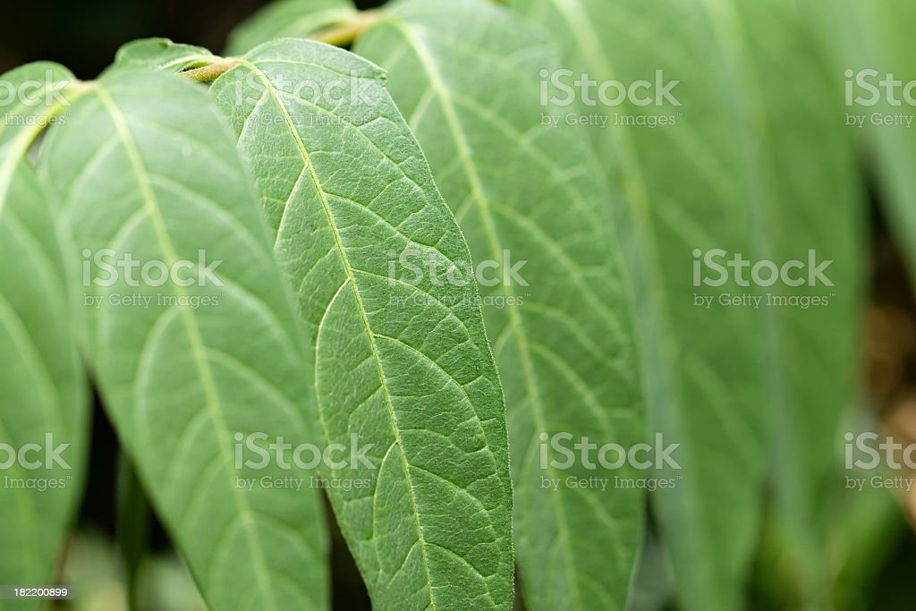 Sour Wood royalty-free stock photo
