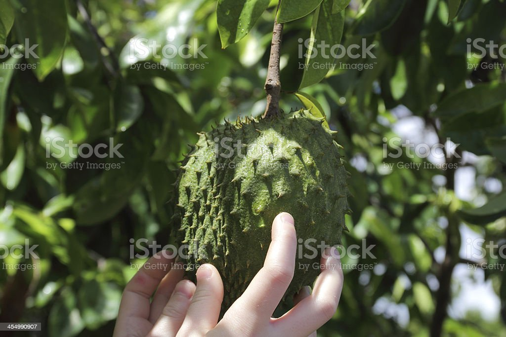 soursop stock photo
