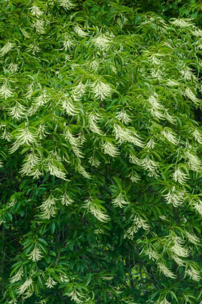 Sourwood Tree in Bloom stock photo