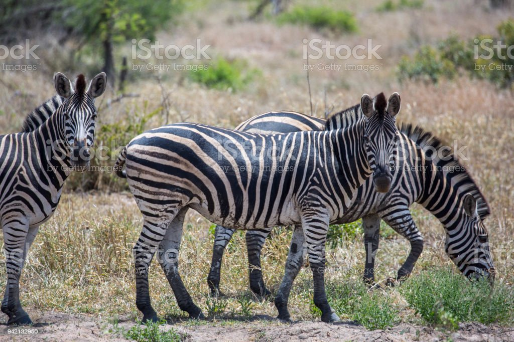 South Africa: Burchell's Zebra stock photo