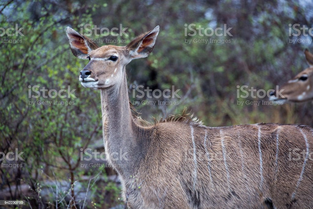 South Africa: Greater Kudu stock photo
