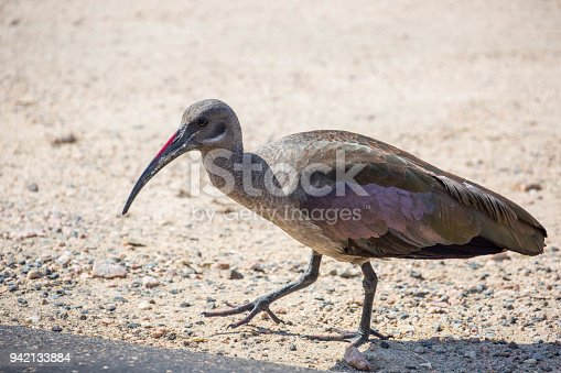 A Hadada Ibis (Bostrychia hagedash) with it's distinctive iridescent purple sheen on it's wings, walks by a road in Kruger National Park.