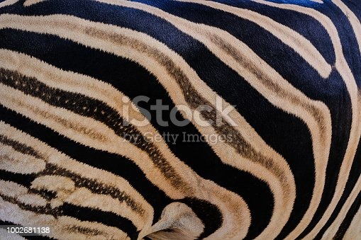 istock south africa kruger wildlife nature reserve and wild zebra skin abstract background 1002681138