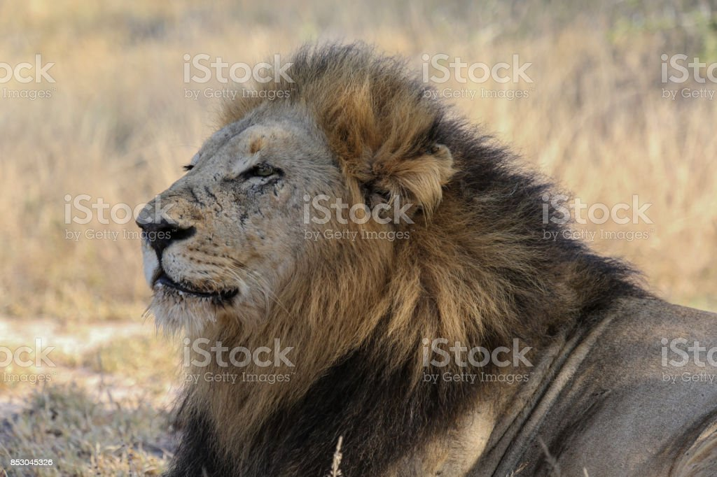 South Africa Lion in Kruger National park, South Africa stock photo