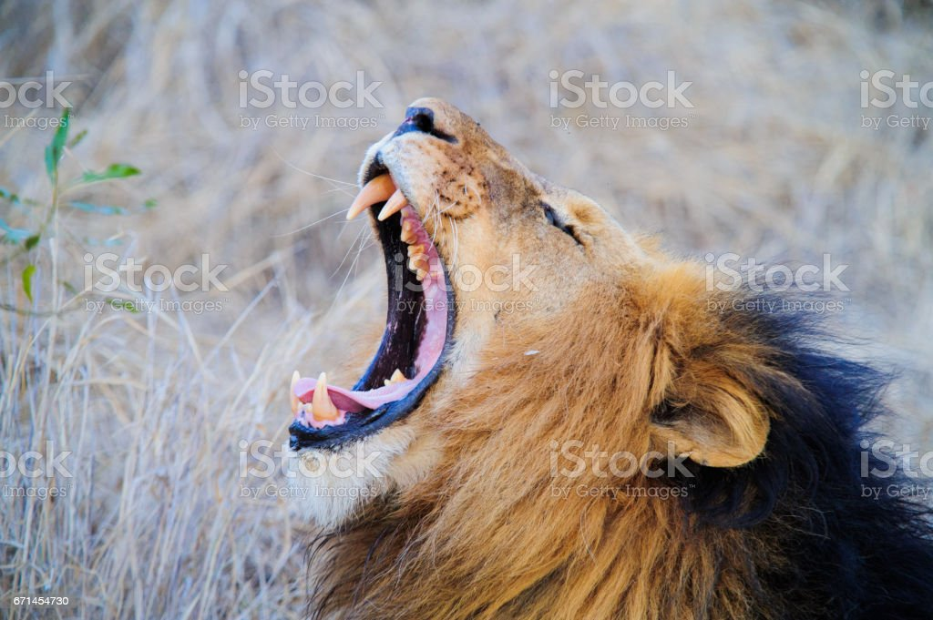 South Africa lion screaming on the savannah stock photo
